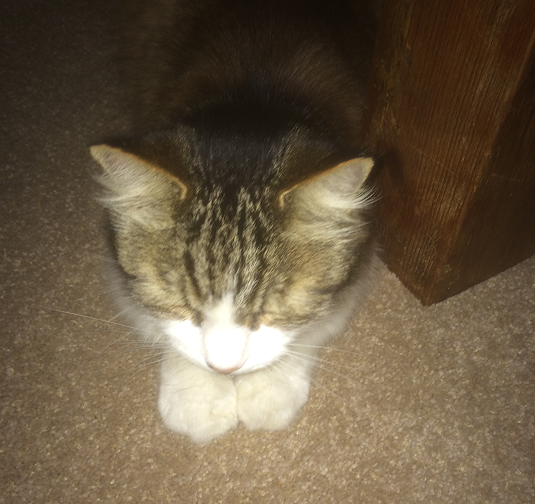 overhead view of a cat lying down on its front with paws together